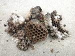 キイロスズメバチが壁の中に作った巣(福島県郡山市、2009年7月下旬).jpg