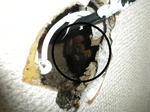 キイロスズメバチが壁中に作った巣の一端(福島県郡山市、2009年7月下旬).jpg