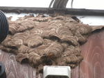 キイロスズメバチの外壁中の巣が表面にあふれ出た先端にスズメバチの出入り口穴(福島県西白河郡、2009年7月下旬).jpg