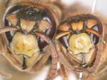 キイロスズメバチの女王蜂と働き蜂(福島県田村郡、2010年8月上旬).jpg