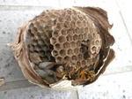 キイロスズメバチの巣は、大きさ直径10cm、巣盤は3段(福島県西白河郡,2009年7月14日).jpg