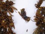 キイロスズメバチの巣内にいた女王蜂・雄蜂たち・働き蜂たち(福島県田村郡、2008年10月上旬).jpg