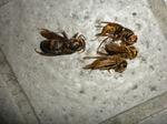 キイロスズメバチの巣内にいた女王蜂(福島県田村市、2009年7月下旬).jpg