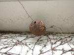コガタスズメバチが軒下に作った巣の拡大写真(福島県福島市、2009年7月18日).jpg