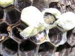 コガタスズメバチの「まゆ」を破いた中にいたサナギ(福島県西白河郡、2008年10月下旬).jpg