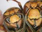 コガタスズメバチの女王蜂(右)と働き蜂(左)の顔(福島県にて2009年7月採取).jpg