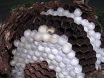 コガタスズメバチの巣の巣盤には新女王蜂の蛹のまゆがいっぱい(福島県西白河郡、2008年9月下旬).jpg