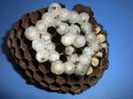 コガタスズメバチの巣の巣盤拡大写真(福島県郡山市、2009年7月8日).jpg