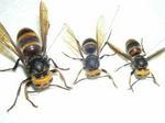 コガタスズメバチの巣内にいた女王蜂と働き蜂たち(福島県西白河郡、2009年6月29日).jpg