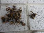 コガタスズメバチの巣内にいた女王蜂と働き蜂たち(福島県福島市、2009年7月18日).jpg