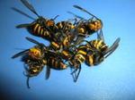 コガタスズメバチの巣内にいた働き蜂たち.jpg