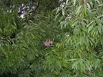 シラカシの樹内に隠れるように作られたコガタスズメバチの巣.jpg