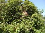 ツツジの枝葉に隠れて見えにくいキイロスズメバチの巣.jpg