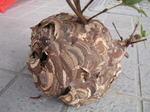 ツツジの樹内中央に作られたコガタスズメバチの巣の全貌写真.jpg
