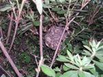 ツツジの樹内中央に作られた直径12cmのコガタスズメバチの巣.jpg