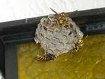 ハチの巣の上で威嚇するキアシナガバチたち(福島県白河市、2009年7月9日).jpg