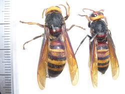 ヒメスズメバチの女王蜂と働き蜂.jpg