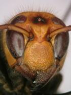 ヒメスズメバチの働き蜂の顔.jpg