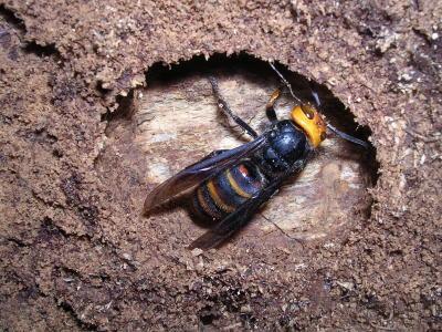 越冬中のコガタスズメバチ.jpg