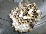 換気口から取り出したキイロスズメバチの巣の本体(福島県郡山市、2009年7月13日).jpg