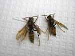 駆除したキアシナガバチの女王蜂と働き蜂(福島県白河市、2009年7月9日).jpg
