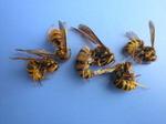 駆除したキイロスズメバチの女王蜂と働きハチたち(福島県西白河郡,2009年7月14日).jpg