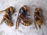 駆除したキイロスズメバチの新女王蜂、女王蜂、働き蜂.jpg