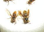 駆除したキイロスズメバチの巣の女王蜂と働きハチ(福島県白河市、2009年7月20日).jpg