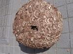駆除したキイロスズメバチの巣の全貌写真(福島県石川郡、2008年9月下旬).jpg