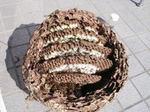 駆除したキイロスズメバチの巣の巣盤は5段(福島県石川郡、2008年9月下旬).jpg