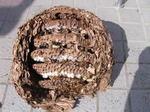 駆除したキイロスズメバチの巣の巣盤は6段(福島県田村市、2008年10月上旬).jpg