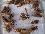 駆除したキイロスズメバチの巣の中にいた成虫たち(中央が女王蜂).jpg