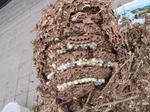 駆除したキイロスズメバチの巣は、直径28cm、巣盤は7段(福島県田村郡、2008年10月上旬).jpg