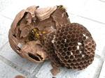 駆除したキイロスズメバチの巣は、直径が14.5cm、巣盤は3段(福島県西白河郡、2009年7月下旬).jpg