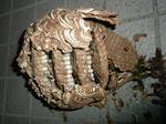 駆除したキイロスズメバチの巣は直径16cm、巣盤は5段(福島県田村市、2009年7月下旬).jpg