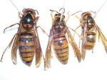 駆除したキイロスズメバチの巣内にいた女王蜂、新女王蜂(福島県田村郡).jpg