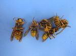 駆除したキイロスズメバチの巣内にいた女王蜂と働き蜂たち(福島県西白河郡、2009年7月下旬).jpg