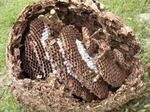 駆除したキイロスズメバチの巣盤は7段.jpg