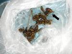 駆除したキイロスズメバチの働き蜂たちと女王蜂(福島県郡山市、2009年7月13日).jpg