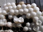 駆除したコガタスズメバチの巣の巣盤にある育房室には、新女王蜂と雄蜂の蛹まゆが一杯.jpg
