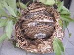 駆除したコガタスズメバチの巣の巣盤は4段.jpg