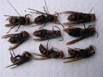 駆除したコガタスズメバチの巣の中にいた新女王ハチ、雄ハチ、働きハチたち.jpg