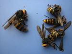 駆除したコガタスズメバチの巣内にいた女王蜂(福島県郡山市、2009年7月下旬).jpg