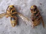駆除した土中に作ったスズメバチの巣内にいた働き蜂と雄成虫の写真.jpg
