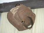 軒下の壁に、直径9cmのコガタスズメバチの巣(福島県郡山市、2009年7月8日)).jpg