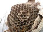 最近作った3段目の小さな巣盤の育房室にも卵が産み付けられて満室(福島県西白河郡,2009年7月14日).jpg