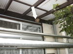 洗濯干し場の天井に楕円体のコガタスズメバチの巣(福島県郡山市、2009年7月下旬).jpg