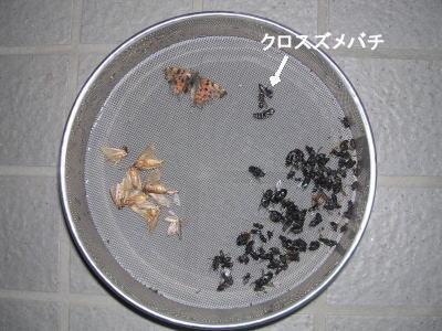 田村市クロスズメバチ.jpg