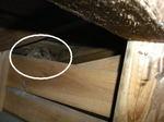 庇の屋根板にぶら下がっているキイロスズメバチの巣(福島県西白河郡、2009年8月上旬).jpg