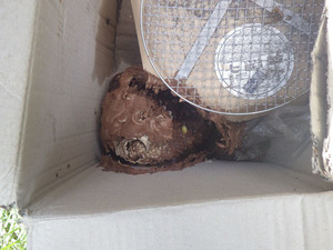 いわき市で段ボール箱に作ったスズメバチの巣.jpg